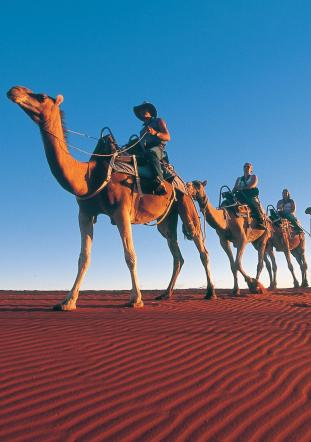 Camels at Ayers Rock Resort